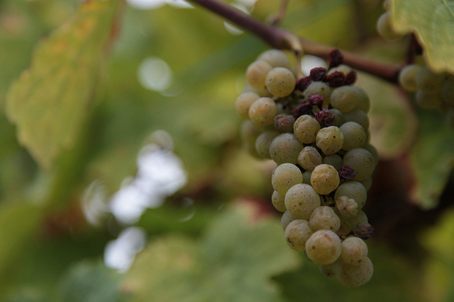 Botrytis Cinerea on Wine Grapes