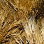 Barley used to make Irish whiskey